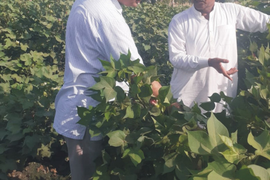 Cotton Variety IUB 4 shows Excellent Performance